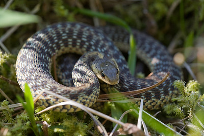 A small garter snake, only about eight or so inches long.