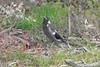 23/10/2016 - Juvenile magpie