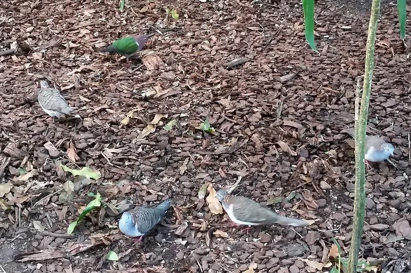 02/09/2016 - Random birds wandering around Australia Zoo, QLD