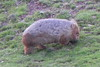 24/09/2016 - Wombat Out For an Evening Stroll