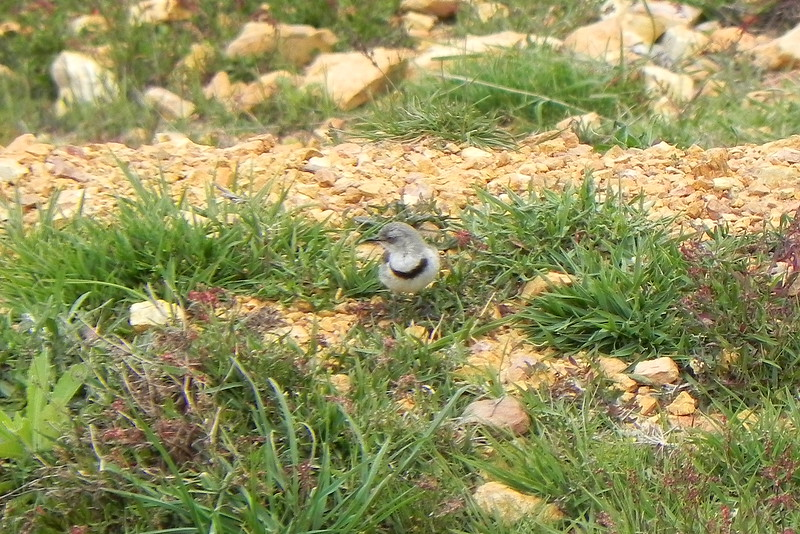 09/10/2016 - White-Fronted Chat