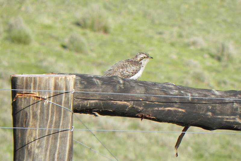 02/10/2016 - Possibly Brown Songlark or Juvenile Skylark