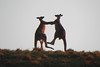 18/10/2016 - Two  male roos fighting
