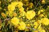 09/10/2016 - Yellow WIldflower