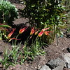 Tulipa acuminata from Brent and Becky's Bulbs