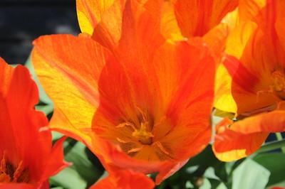 Miscellaneous Tulips
