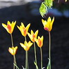 I'm fairly certain that this is Tulipa clusiana 'Cynthia' from Brent and Becky's Bulbs.
