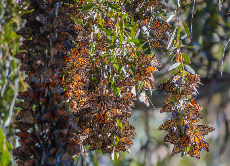Hanging Monarchs 1