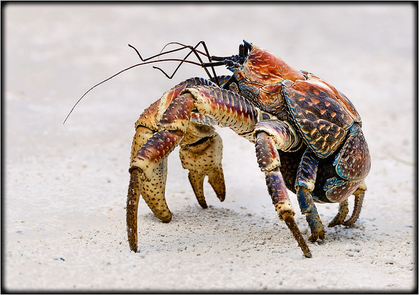 Robber Crab     (Coconut Crab)