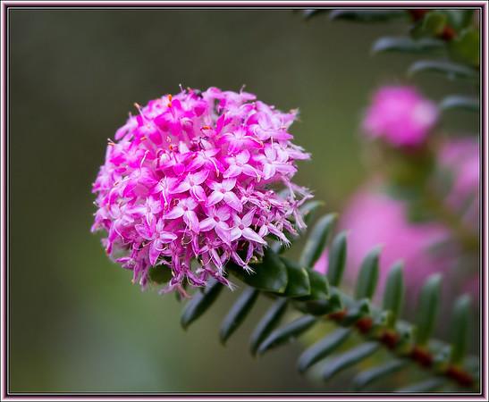 Pink Rice Flower