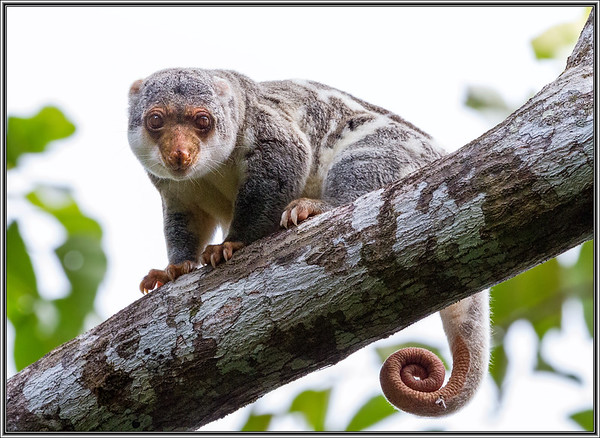 Common Spotted Cuscus    ♂