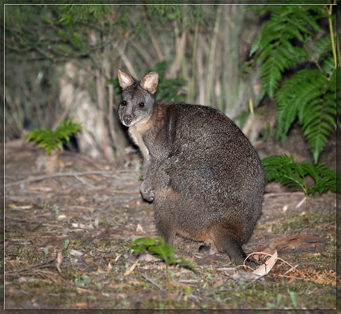 Rufous-bellied Pademelon