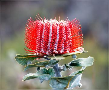 Scarlet Banksia