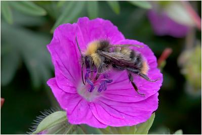 Bee species, Strumpshaw, Norfolk, United Kingdom, 10 June 2009
