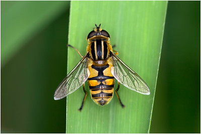 Helophilus pendulus Hoverfly, Upton, Norfolk, United Kingdom, 28 May 2008
