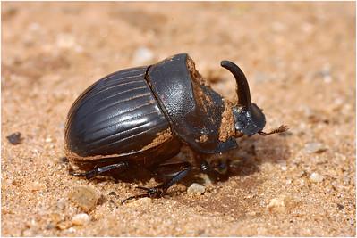 Horned Dung Beetle, Crete, Greece, 22 April 2004