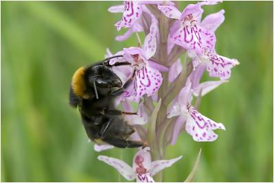 Bumble Bee species, Strumpshaw, Norfolk, United Kingdom, 21 June 2009