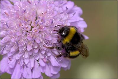 Bumble Bee species, Twywell, Northamptonshire, United Kingdom, 3 July 2010
