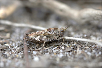 Common Groundhopper, Buxton Heath, Norfolk, United Kingdom, 26 April 2009