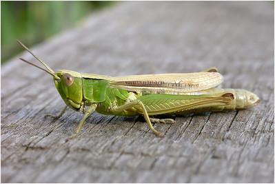 Common Green Grasshopper, Colby, Norfolk, United Kingdom, 19 July 2003