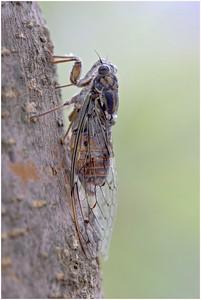 Cicada orni, Delphi , Greece, 25 August 2009