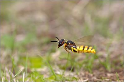 Bee Wolf, Bedford, Bedfordshire, United Kingdom, 29 July 2017
