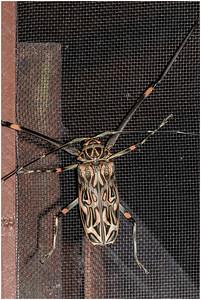 Harlequin Beetle, La Selva, Costa Rica, 29 March 2019