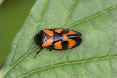 Cercopis vulnerata Leafhopper, Upton, Norfolk, United Kingdom, 28 May 2008