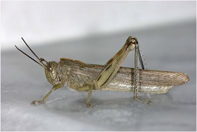 Egyptian Grasshopper, Crete, Greece, 17 April 2005