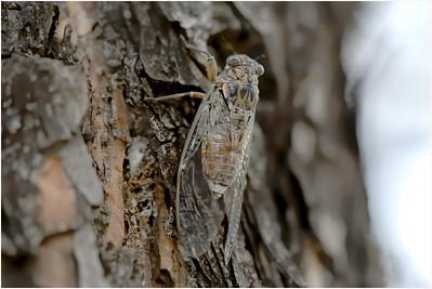 Cicada orni, Delphi , Greece, 24 August 2009