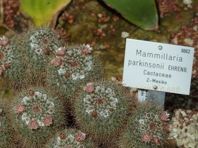 Mammilaria parkinsonii