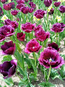 and more Tulips...