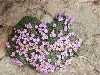 Dionysia curviflora, Iran 15-04-2003