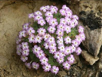 Dionysia bryoides, Iran 27-04-2003