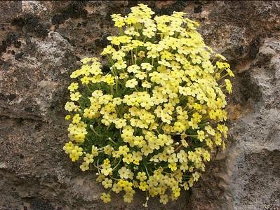 Dionysia diapensiifolia, Iran 23-04-2003