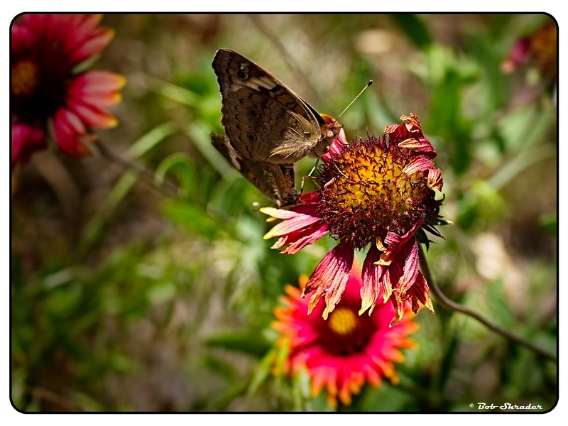 Butterflies on Indian Blanket Wildflower