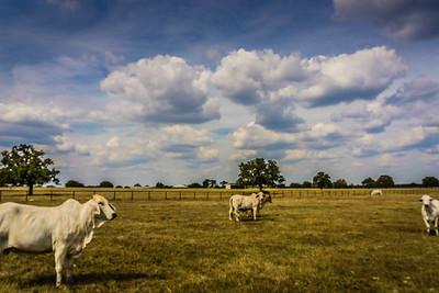 2015-10-08 Brahman Bulls Santerland Ranch