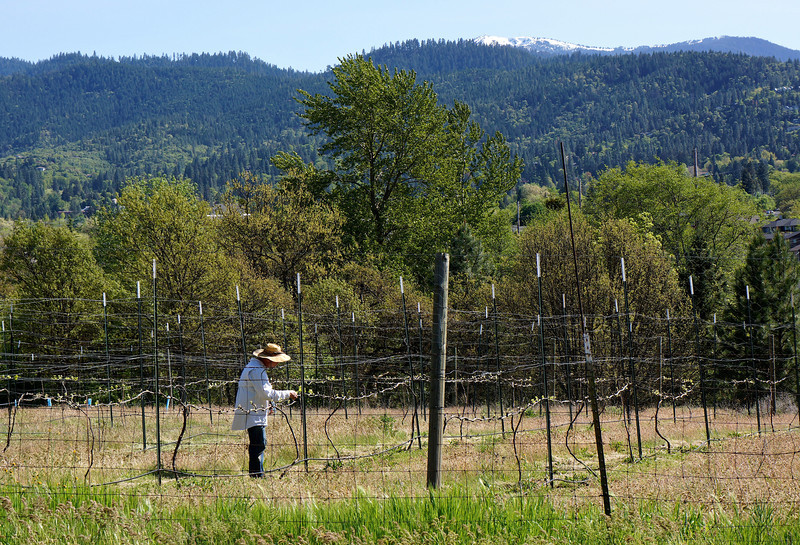 The vineyard on Nepenthe Rd, adjacent to Mountain Meadows. Mount Ashland in the background.
