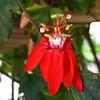 red flower1