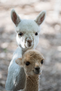 Blue Gate Alpacas, April 2017. Photo by Dave Wilson.