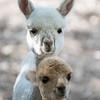 Blue Gate Alpacas, April 2017. Photo by Dave Wilson.