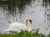 Swan in Petaluma, CA