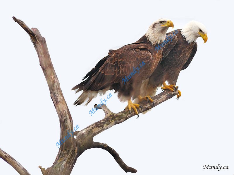 FEBRUARY #1<br /> <br /> Two Bald Eagles sharing a branch.<br /> <br /> Cambridge, Ontario