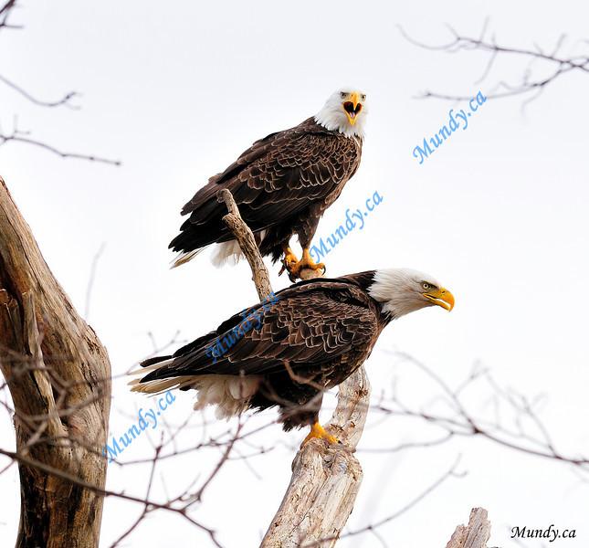 NOVEMBER #1<br /> <br /> Bald Eagles squawking.<br /> <br /> Cambridge, Ontario.