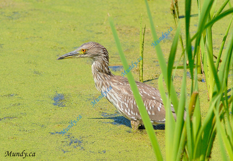 OCTOBER #3<br /> <br /> Young Heron fishing in the Grand River.<br /> <br /> Cambridge, Ontario.