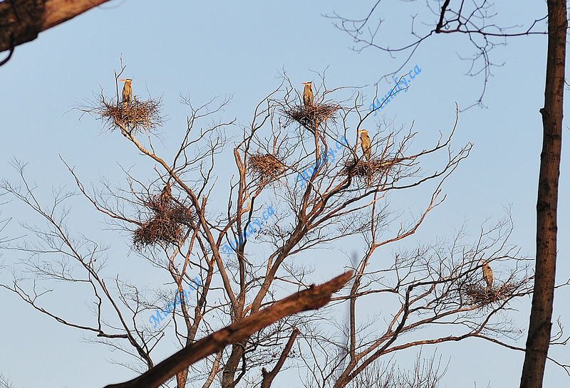 JUNE #3<br /> <br /> Great Blue Heron nests.<br /> <br /> Near Elora, Ontario.