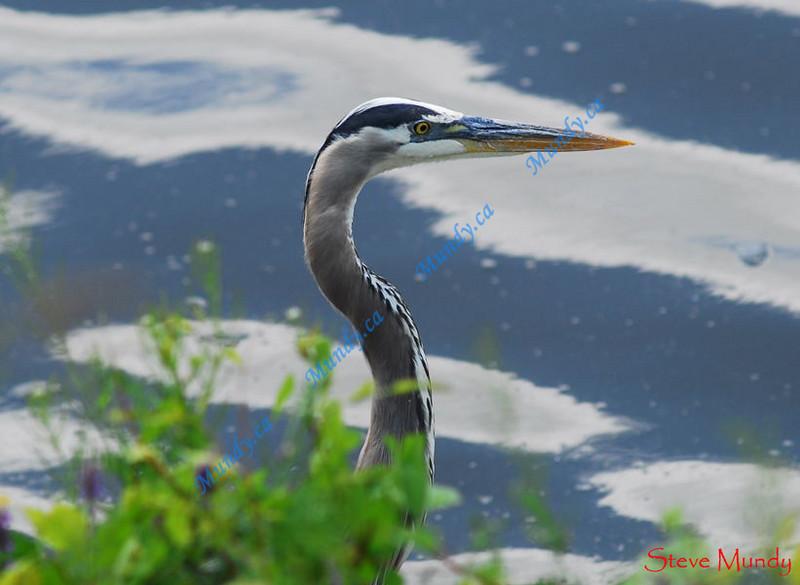 MARCH #3<br /> <br /> Great Blue Heron fishing along the shoreline.<br /> <br /> Cambridge, Ontario.