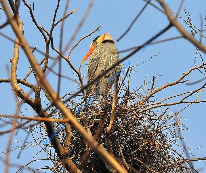 AUGUST #2<br /> <br /> Great Blue Heron in nest.<br /> <br /> Cambridge, Ontario.