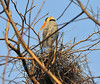 AUGUST #2<br /> <br /> Great Blue Heron in nest.<br /> <br /> Cambridge, Ontario.