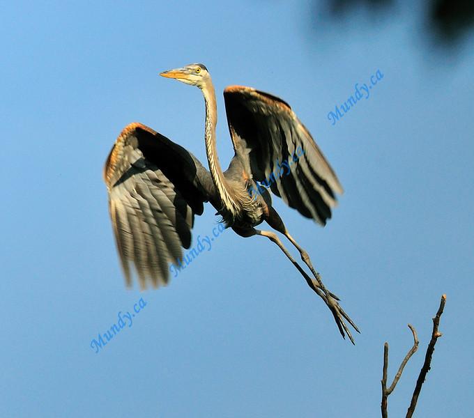 FEBRUARY #3<br /> <br /> Great Blue Heron takeoff. <br /> <br /> Near Elora, Ontario.